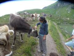 Friendly cows in Pizol, Switzerland.